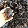 糸島産天然ムール貝